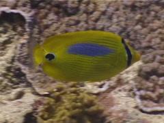 Bluespot butterflyfish feeding, Chaetodon plebeius, UP3951 Stock Footage