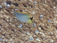 Chevroned butterflyfish feeding, Chaetodon trifascialis, UP3956 Stock Footage