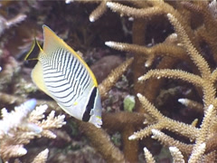 Chevroned butterflyfish feeding, Chaetodon trifascialis, UP3958 Stock Footage