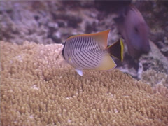 Chevroned butterflyfish feeding, Chaetodon trifascialis, UP3961 Stock Footage