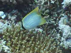 Chevroned butterflyfish feeding, Chaetodon trifascialis, UP3964 Stock Footage