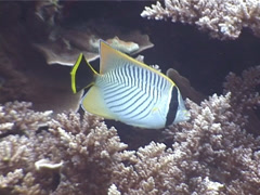 Chevroned butterflyfish feeding, Chaetodon trifascialis, UP3965 Stock Footage