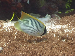 Chevroned butterflyfish swimming, Chaetodon trifascialis, UP3966 Stock Footage