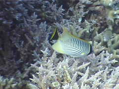 Chevroned butterflyfish feeding, Chaetodon trifascialis, UP3968 Stock Footage