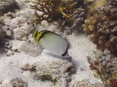 Criss-cross butterflyfish feeding, Chaetodon vagabundus, UP3972 Stock Footage