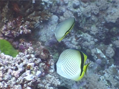 Criss-cross butterflyfish swimming, Chaetodon vagabundus, UP3974 Stock Footage