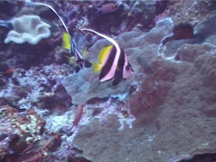 Longfin bannerfish swimming, Heniochus acuminatus, UP4004 Stock Footage