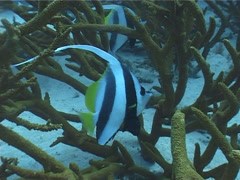 Longfin bannerfish hovering, Heniochus acuminatus, UP4005 Stock Footage