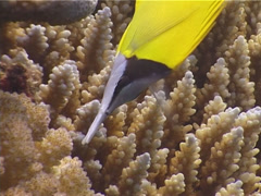 Forcepsfish feeding, Forcipiger flavissimus, UP4006 Stock Footage