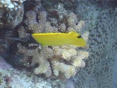Forcepsfish feeding, Forcipiger flavissimus, UP4008 Stock Footage