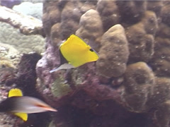Longnose butterflyfish swimming, Forcipiger longirostris, UP4010 Stock Footage