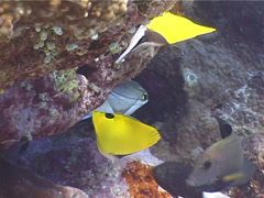 Forcepsfish swimming, Forcipiger flavissimus, UP4011 Stock Footage