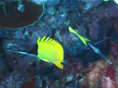 Longnose butterflyfish swimming, Forcipiger longirostris, UP4012 Stock Footage