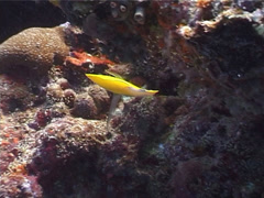Forcepsfish feeding, Forcipiger flavissimus, UP4015 Stock Footage