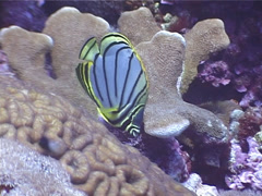 Meyer's butterflyfish feeding, Chaetodon meyeri, UP4026 Stock Footage