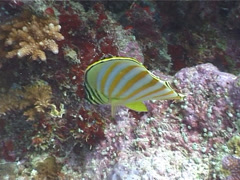 Ornate butterflyfish swimming, Chaetodon ornatissimus, UP4030 Stock Footage