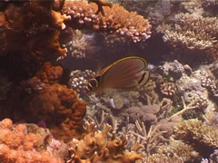 Ornate butterflyfish feeding, Chaetodon ornatissimus, UP4033 Stock Footage