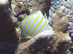 Ornate butterflyfish feeding, Chaetodon ornatissimus, UP4039 - stock footage
