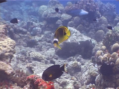 Racoon butterflyfish swimming, Chaetodon lunula, UP4060 Stock Footage