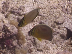 Redfin butterflyfish feeding, Chaetodon lunulatus, UP4062 Stock Footage
