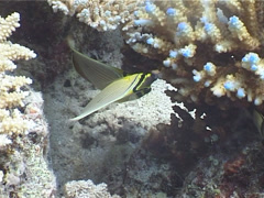 Redfin butterflyfish feeding, Chaetodon lunulatus, UP4065 Stock Footage