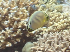 Redfin butterflyfish feeding, Chaetodon lunulatus, UP4068 Stock Footage