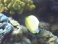Redfin butterflyfish feeding, Chaetodon lunulatus, UP4074 Stock Footage