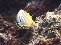 Redfin butterflyfish feeding, Chaetodon lunulatus, UP4075 Stock Footage