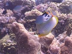 Saddled butterflyfish swimming, Chaetodon ephippium, UP4082 Stock Footage