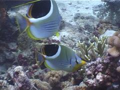 Saddled butterflyfish swimming, Chaetodon ephippium, UP4084 Stock Footage