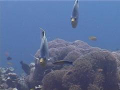 Saddled butterflyfish swimming, Chaetodon ephippium, UP4087 Stock Footage
