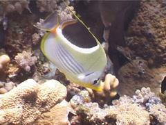 Saddled butterflyfish swimming, Chaetodon ephippium, UP4088 Stock Footage