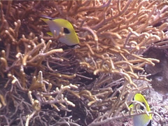 Teardrop butterflyfish feeding, Chaetodon unimaculatus, UP4101 Stock Footage