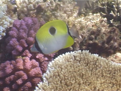 Teardrop butterflyfish swimming, Chaetodon unimaculatus, UP4102 Stock Footage