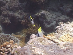 Teardrop butterflyfish swimming, Chaetodon unimaculatus, UP4103 Stock Footage