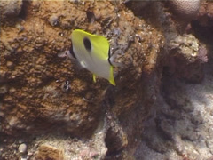 Teardrop butterflyfish feeding, Chaetodon unimaculatus, UP4104 Stock Footage