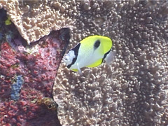 Teardrop butterflyfish swimming, Chaetodon unimaculatus, UP4105 Stock Footage