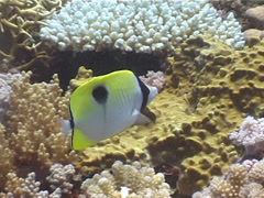 Teardrop butterflyfish swimming, Chaetodon unimaculatus, UP4106 Stock Footage