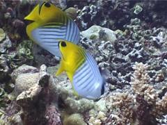 Threadfin butterflyfish feeding, Chaetodon auriga, UP4110 Stock Footage