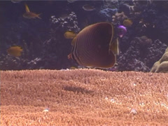 Triangular butterflyfish feeding, Chaetodon baronessa, UP4112 Stock Footage
