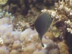 Triangular butterflyfish feeding, Chaetodon baronessa, UP4116 Stock Footage