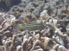 Five-lined cardinalfish hovering, Cheilodipterus quinquelineatus, UP4124 Stock Footage