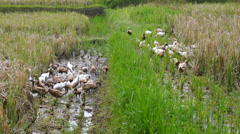 Ducks in a rice paddy, Indonesia, Asia Stock Footage