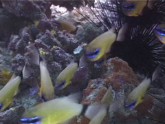 Ring-tailed cardinalfish hovering and schooling, Ostorhinchus aureus, UP4129 Stock Footage