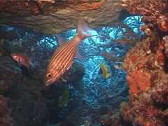 Tiger cardinalfish hovering in cavern, Cheilodipterus macrodon, UP4135 Stock Footage
