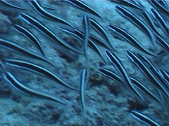 Juvenile Striped catfish swimming and schooling, Plotosus lineatus, UP4145 Stock Footage