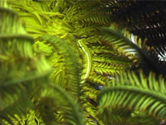 Bennett's rainbow crinoid swimming, Oxycomanthus bennetti, UP4147 Stock Footage