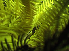 Bennett's rainbow crinoid, Oxycomanthus bennetti, UP4150 Stock Footage