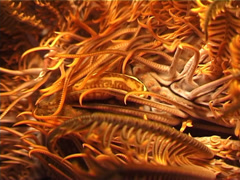 Crinoid clingfish at night, Discotrema crinophilum, UP4159 Stock Footage