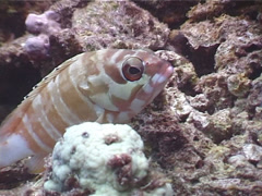 Black-tipped grouper, Epinephelus fasciatus, UP4167 Stock Footage